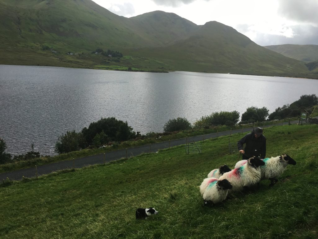 Visiting an Irish Sheep Dog Farm - www.AFriendAfar.com - #connemara #sheepdogfarm #countygalway